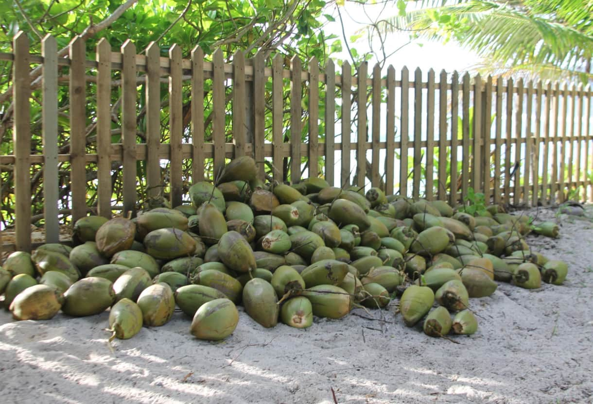 Beach House coconuts being harvested