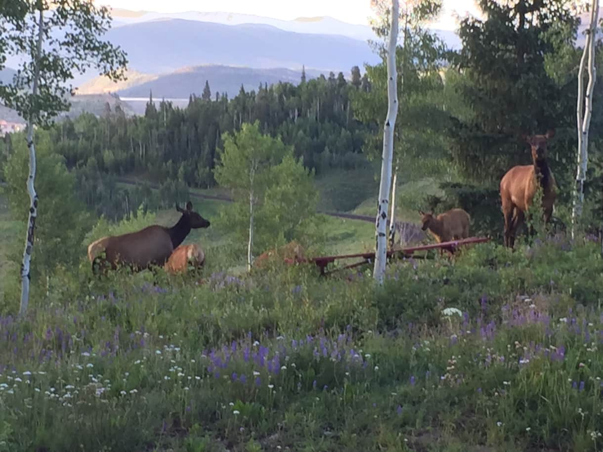 Elk are frequent visitors