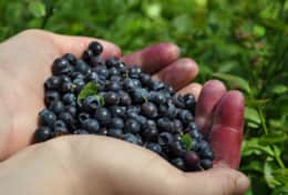 K45 Mackenzie Cottage - There is nothing better than fresh wild blueberries picked from the forest